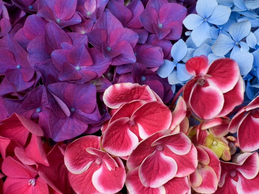 Hydrangea-Blossoms
